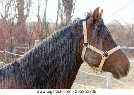 Adult Morgan Horse Standing In Winter Corral Near Feeding Station And Other Horses
