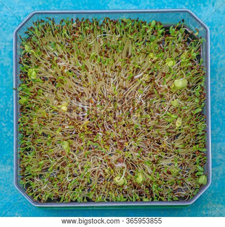 Fresh Sprouts Of Germinated Seeds Closeup In A Plastic Box. Top View Seeds Of Red Cabbage, Alfalfa,