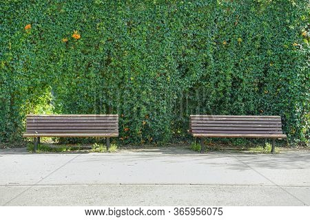 Two Wooden Benches And Green Wild Grapes In The Background. Wall Of Wild Grape. Bench In Wild Grapes