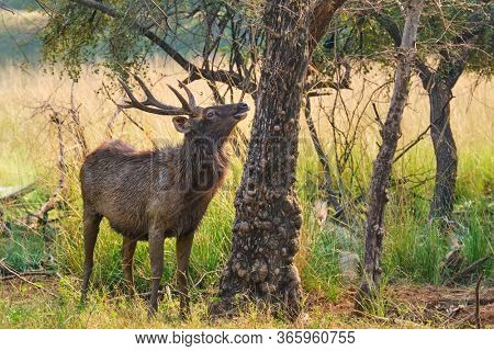 Male sambar (Rusa unicolor) deer eating tree leaves in the forest. Sambar is large deer native to the Indian subcontinent and listed as vulnerable spices. Ranthambore National Park, Rajasthan, India