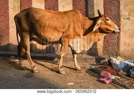 Cow in the street of India. Cow is a holy sacred animal in India. Jodhpur, Rajasthan, India