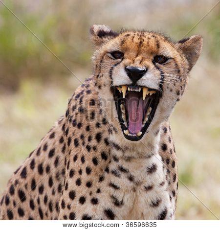 Cheetah 3