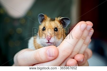 Cute syrian hamster in girls hands. Care of home animals.