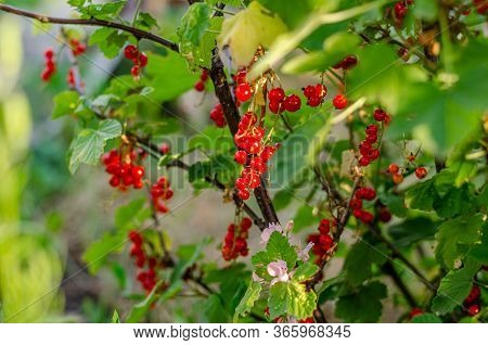 Ripe Bunches With Red Currant Berries As A Background. Red Currant Background. Harvest Ripe Berries