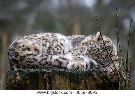 Beautiful adult snow leopard,  Panthera uncia,  sleeps on an old tree stump.