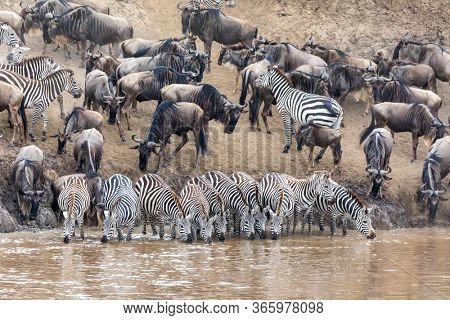A row of zebras, equus quagga, drinking from the banks of the Mara river. widldebeest gather behind in preparation to cross the river during the annual Great Migration. Masia Mara, Kenya.