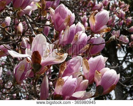Pink Flowers Of The Blooming Magnolia Tree