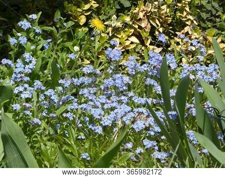 Many Forget-me-not Flowers On The Flower Bed As A Floral Background