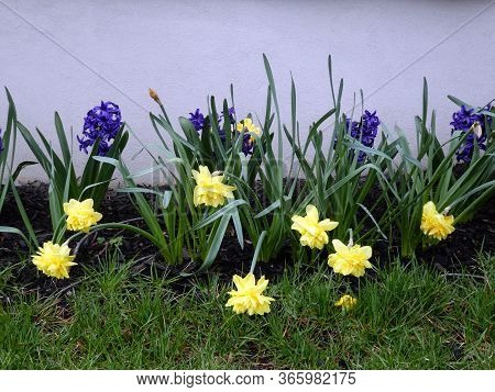 Yellow Narcissuses And Hyacinthes Blooming On The Flower Bed