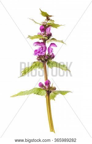 Untitled Wildflower With Purple Buds Isolated On White Background