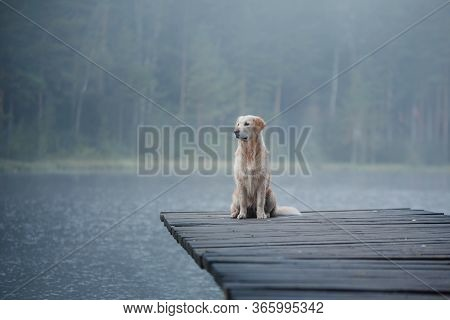 The Dog Is Playing In Water. Golden Retriever In The Water, On Nature. Pet For A Walk