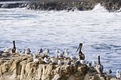 Birds are populating a large rock off the shores of Santa Cruz California poster