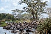 A herd of Zebras drinks their fill at the water hole. Serengeti National Park, Tanzania. poster