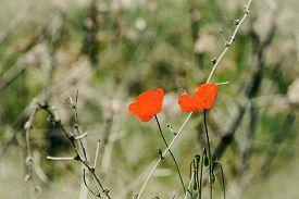 Beautiful Spring Poppy Near The Sea - Stock Photo
