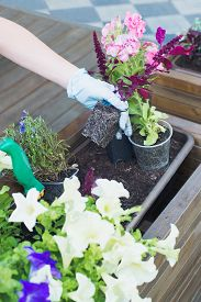 Caucasian Woman Gardener Hands In Blue Gloves Replanting Flowers In Wooden Container Pot, Outdoors P
