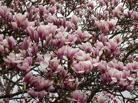 Pink Flowers Of The Blooming Magnolia Tree As A Floral Background