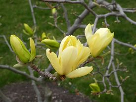 Yellow Flowers Of The Blooming Magnolia Tree
