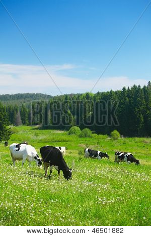 Cows grazing on a spring meadow in sunny day poster