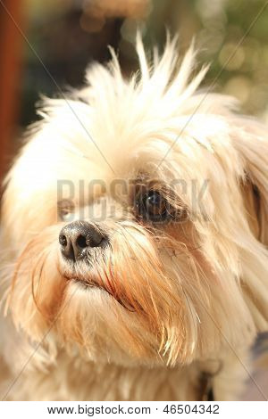 head shot of small lhasa type dog with faux-hawk