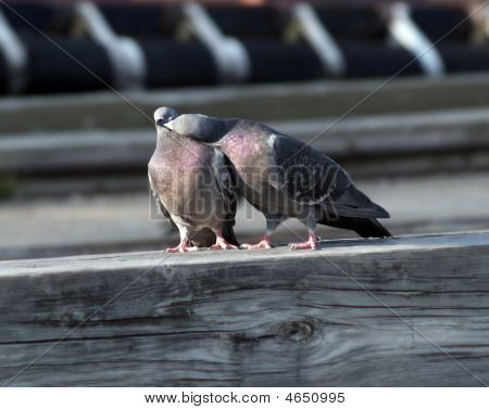 Mouth To Mouth Pigeon