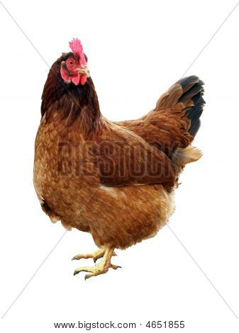 One Brown Living Chicken