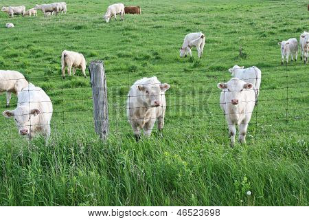 White cows near a fence