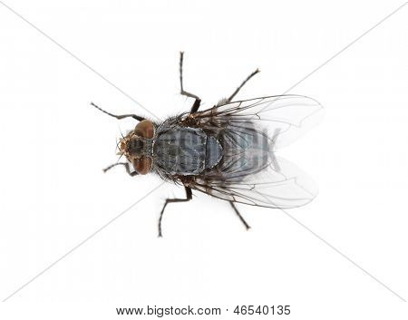 fly isolated on white.