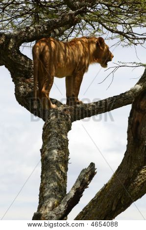 African lion resting on the tree in national park poster