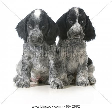 litter of puppies - two english cocker spaniel puppies sitting isolated on white background - 7 weeks old poster
