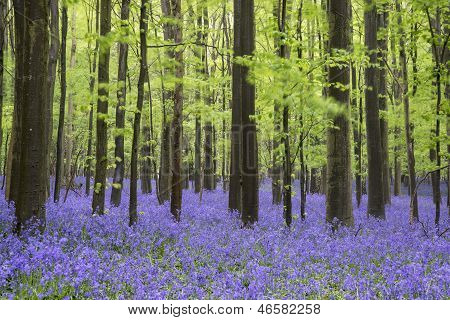 Beautiful carpet of bluebell flowers in Spring forest landscape poster