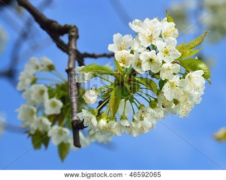 Close up of blooming wild cherry (Prunus avium) in spring. Branch with white flowers and young leaves. poster