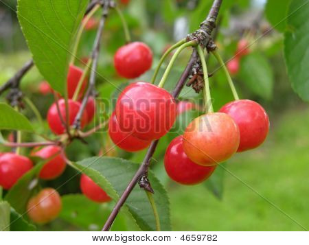 Sourcherries