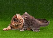 Cat grooming her kitten on artificial green grass poster