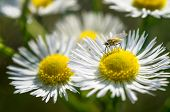 Closeup of a mosquito on a chamomile flower poster