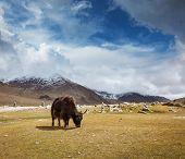 Yak grazing in Himalayas mountains. Ladakh, India poster
