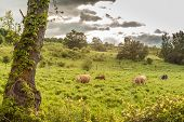Dairy Cattle on green grass field, under dramatic sky poster