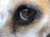 a closeup of a beagle's eye. poster