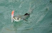 Spanish mackerel fish caught on hook and fishing line in ocean poster