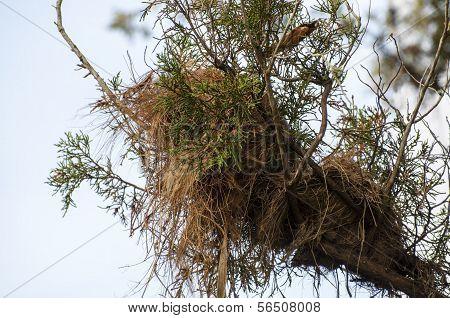 Great Kisakadee Pitangus sulphuratus nest
