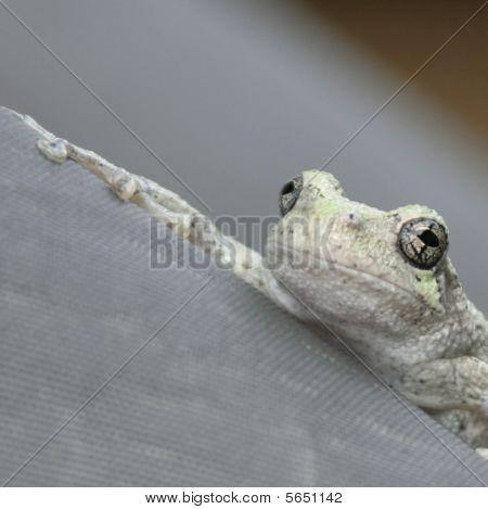 Frog  Spider 011