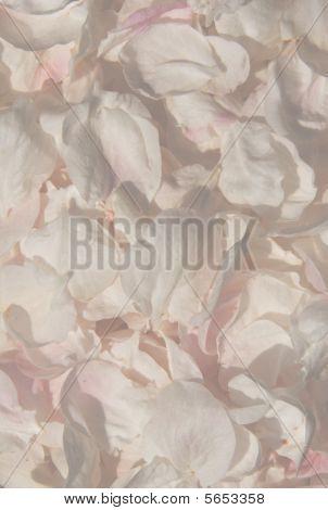 Petals of flowers (close macro view)