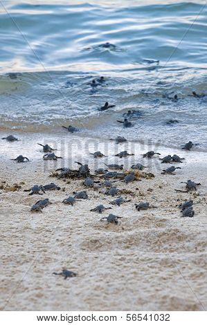 Turtle Hatchlings