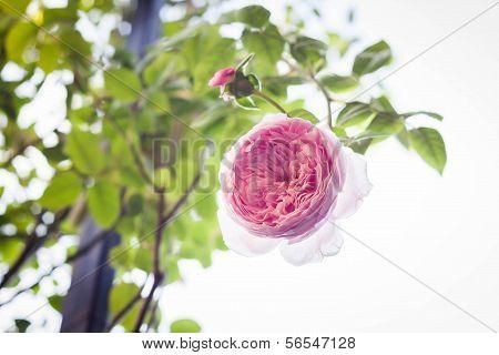 Beautiful Pink Rose Flowers On Bush