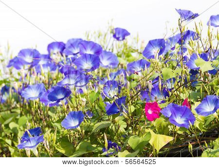 Morning glory or Ipomoea is flowering plants in the family Convolvulaceae. poster