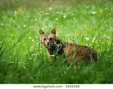 An undomesticated cat in a summer field poster