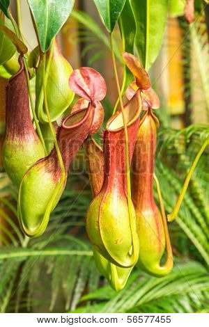 Nepenthes  Ventrata, A Carnivorous Plant