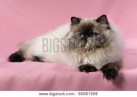 Persian Seal Tortie Colorpoint Cat