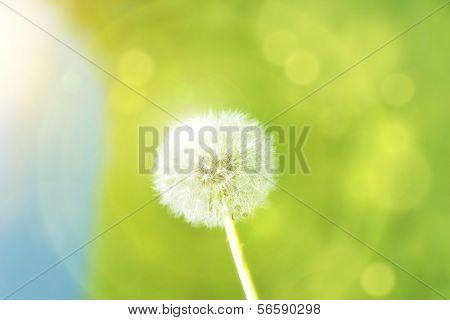 Dandelion With Sunspots