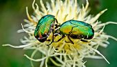 Chafer beetles graze on Russian cornflower colors. poster