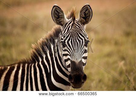 zebra staring at viewer